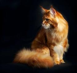 Мейн кун - порода больших кошек